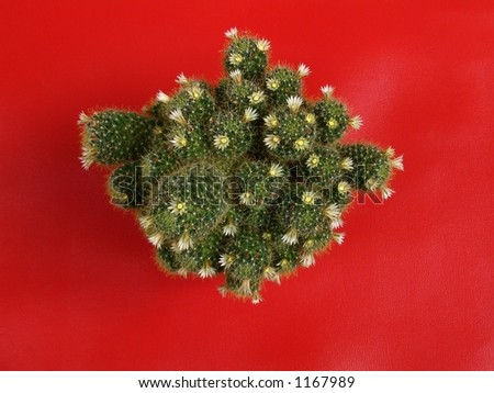 The Flowering cactus on red background..