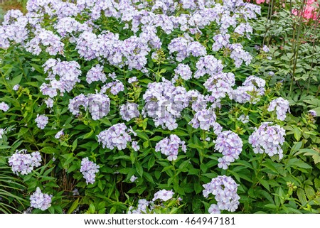 The flowering of Phlox paniculata in the garden
