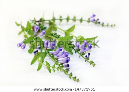 the flowers and leaves of the Chinese plant Ban Zhi Lian - stock photo
