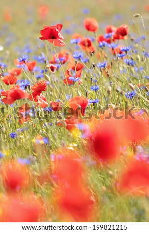 The flowers are red poppies and blue cornflowers on a background of bright colorful field. Bright summer picture.