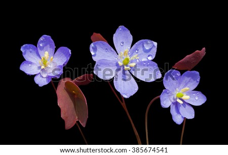 The flowers (Jeffersonia dubia) with drops of dew on petals. Early spring. Isolated on black. - stock photo