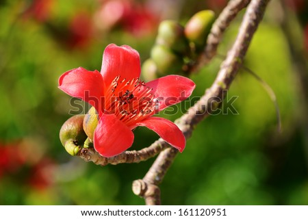 The flowers of ceiba tree, crimson kapok flowers