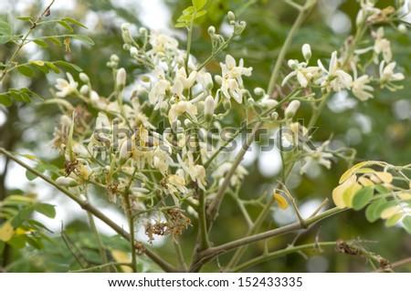 The flowers of the Moringa tree (Moringa oleifera Lam.) - stock photo