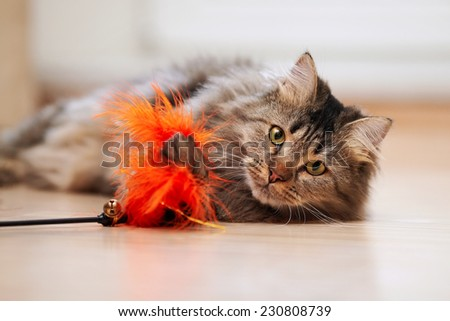 The fluffy cat plays with a toy. Portrait of a fluffy striped cat. Striped not purebred kitten. Small predator. Small cat. - stock photo