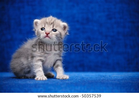 The fluffy kitten sit on a dark blue background - stock photo