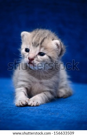 The fluffy kitten slay on a dark blue background - stock photo