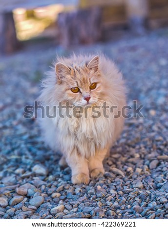 the fluffy peach cat stay on a wood floor - stock photo