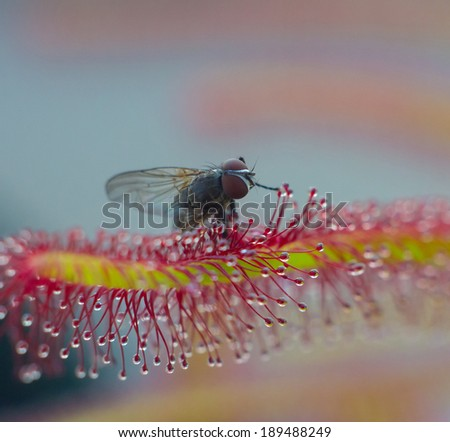 The fly just catched by Sundew leaf - stock photo