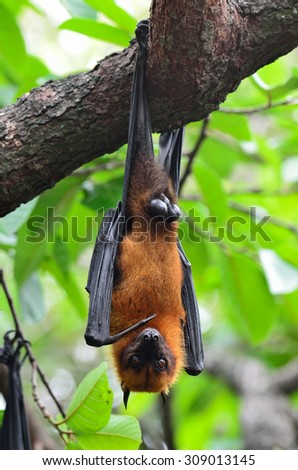 The flying fox or fruit bat hanging downward from the tree branches, vampire on the tree - stock photo