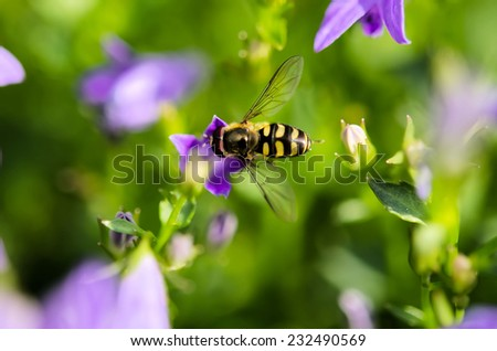 the foraging syrphid - stock photo