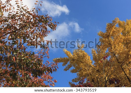 The forest of huge yellow ginkgo tree leaf(leaves) closeup at the korean royal palace(Gyeongbokgung) in the blue sky, seoul at the fall(autumn, october, september)