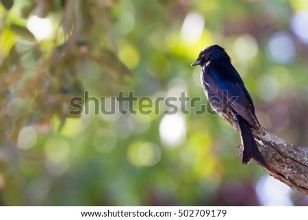 The Fork-tailed Drongo (Dicrurus adsimilis) is known for its ability to mimic the sounds of birds of prey and to trick other animals into giving up their meals (Kruger National Park, South Africa)