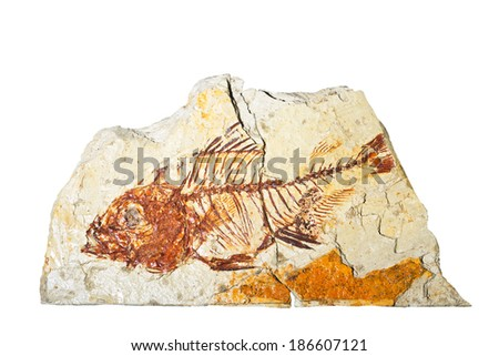 The fossil parambassis paleosiamensis fish tjailand isolated on white background - stock photo
