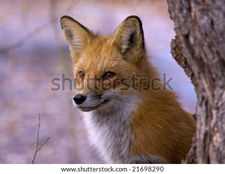 The fox - stock photo