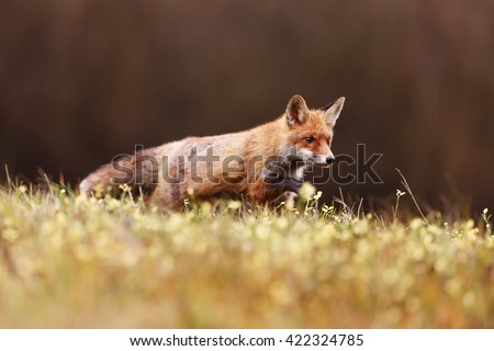 The fox goes over the horizon grass field and getting ready to hunt mice. Predator supporting stepping on the grass.