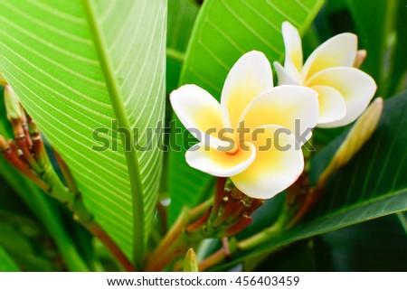 The  Frangipani, Plumeria, Temple Tree, Graveyard Tree flower blooming on tree, spa flower  - stock photo