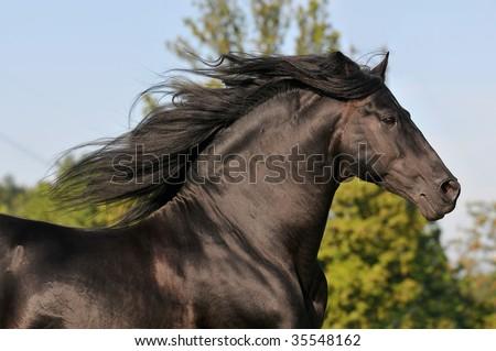 The free black horse run gallop - stock photo