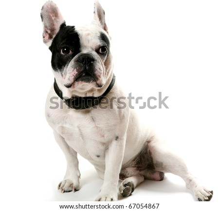 The French bulldog - stock photo