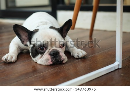 The french bulldog lying on wooden floor.