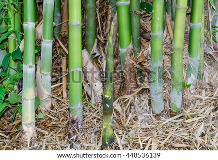 The fresh bamboo shoot in bamboo grove