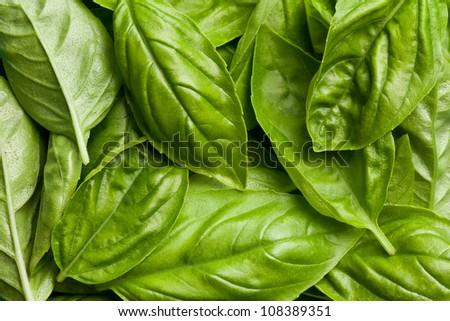 the fresh basil leaves background - stock photo