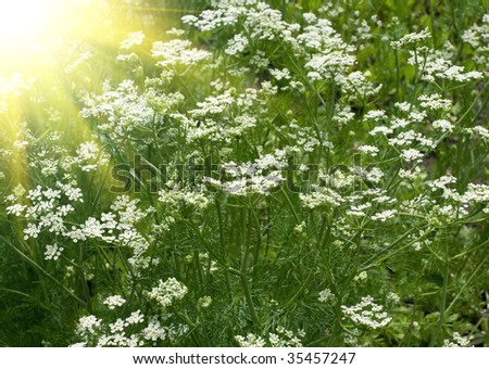 The fresh fragrant fennel shined with beams of the sun. Shallow DOF - stock photo