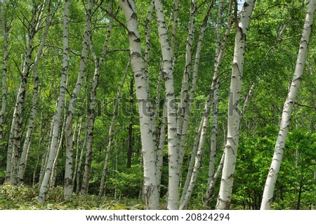 The fresh green of the white birch - stock photo
