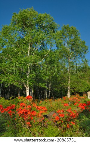 The fresh green of the white birch and the red flower of the azalea