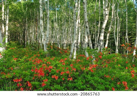 The fresh green of the white birch and the red flower of the azalea - stock photo