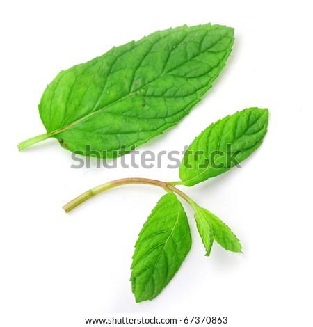 The fresh mint isolated on white background - stock photo
