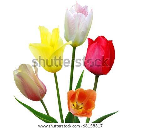 the fresh spring tulips - stock photo