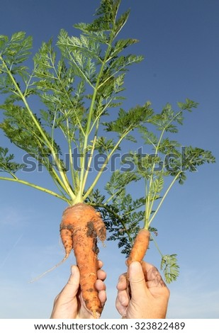 The freshest carrots / dirty / still life  - stock photo