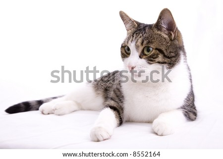 The friendly housecat, pet and companion - portrait of... - stock photo