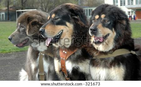 The Friendly three-tuple. Tibetan mastiff. - stock photo