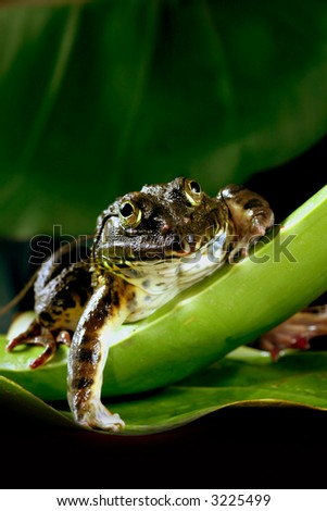 the frog on the green leaf