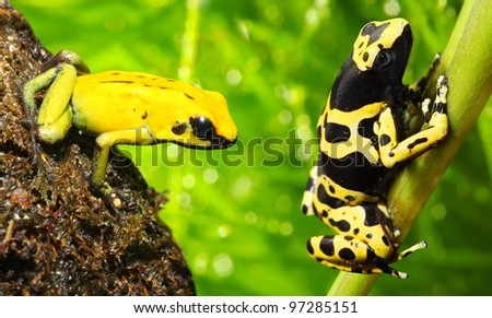 The frogs (Dendrobates) - stock photo