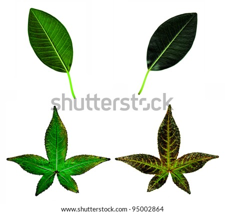 The front and back of two different types of leaves