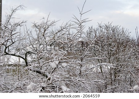 the frozen bush covered of white snow - stock photo