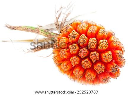 The fruit of pandanus - stock photo