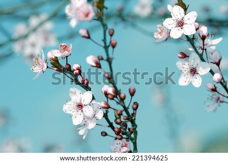 the fruits blossom in spring  - stock photo