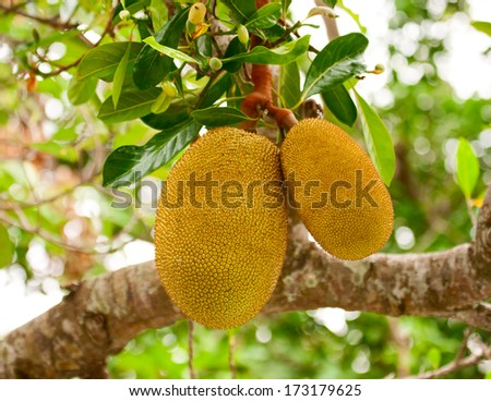 The fruits of Jackfruit hanging on a tree - stock photo