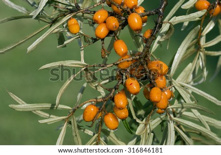 The fruits of sea buckthorn Sea buckthorn berries have medicinal and healing properties. Sea buckthorn is widely used in folk and traditional medicine. - stock photo