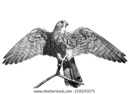 The full length portrait of a kestrel, Falco tinnunculus. Front view of a beautiful bird with stretched wings, isolated on white background. Wild beauty of feathered world in black and white image. - stock photo