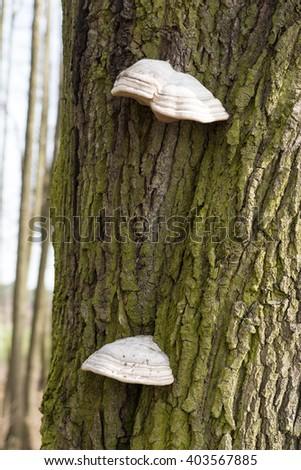 The fungus parasite on a tree - stock photo