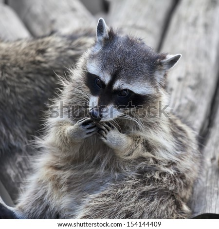 The funny face of a raccoon. Curious look of a washing bear. Cute and cuddly animal, which can be very dangerous beast. Beauty of the wildlife. - stock photo