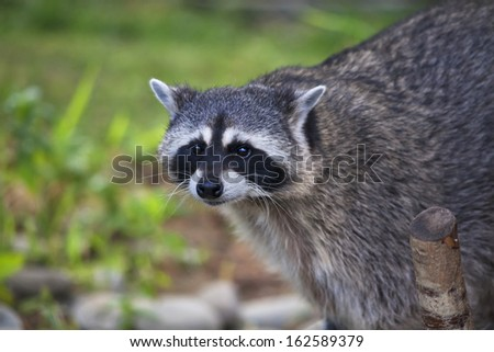 The funny face of a raccoon on blur background. Curious look of a washing bear. Cute and cuddly animal, which can be very dangerous beast. Beauty of the wildlife.