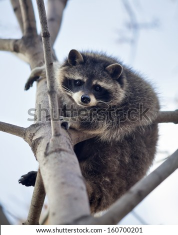 The funny portrait of a raccoon on a tree. Curious look of a washing bear. Cute and cuddly animal, which can be very dangerous beast. Beauty of the wildlife. - stock photo
