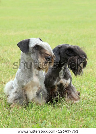 The funny two czech terriers on the meadow