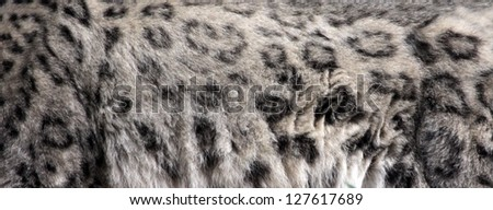 The fur of a Snow Leopard (Panthera uncia).
