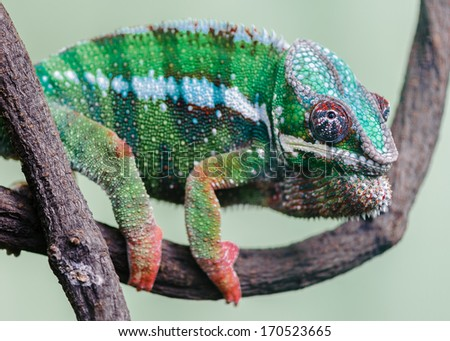 The furcifer pardalis distributed in northeast of the island of Madagascar, Reunion Island, and native habitat in the forest, mostly in crown of interagency activities.